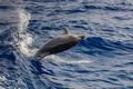 dolphin swimming in Atlantic Ocean near the coast of Tenereife. - PhotoDune Item for Sale