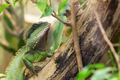 Asian Water Dragon on a tree - PhotoDune Item for Sale