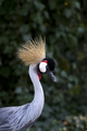 Grey Crowned Crane a portrait - PhotoDune Item for Sale