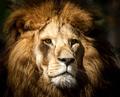 Portrait of a wild majestic male lion - PhotoDune Item for Sale