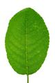Green cherry leaf - PhotoDune Item for Sale