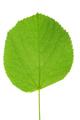 Green linden leaf - PhotoDune Item for Sale