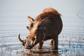 Brown hairy warthog - PhotoDune Item for Sale