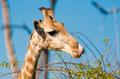 Giraffe licking lips - PhotoDune Item for Sale