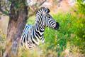 Plains zebra (Equus quagga) profile view - PhotoDune Item for Sale