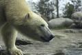 Polar bear closeup - PhotoDune Item for Sale