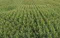 Corn plant growing in the field from above. - PhotoDune Item for Sale