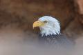 american bald eagle (haliaeetus leucocephalus) - PhotoDune Item for Sale