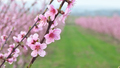 Spring flowers of orchard tree. - PhotoDune Item for Sale