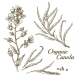 Canola Flower Organic Colza Branch - GraphicRiver Item for Sale