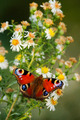 European peacock butterfly - PhotoDune Item for Sale