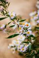 Daisy flower - PhotoDune Item for Sale