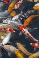 Many multicolored Koi fish swimming in pond - PhotoDune Item for Sale