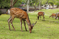 Wild deers walking around in Omoto Park, Japan - PhotoDune Item for Sale