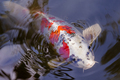 Exotic Koi fish carp swimming in pond - PhotoDune Item for Sale