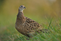 Female pheasant - PhotoDune Item for Sale