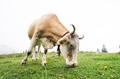 Fisheye shot of a grazing cow - PhotoDune Item for Sale
