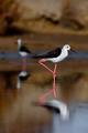 Black-Winged Stilt - PhotoDune Item for Sale