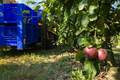Harvest apples in big industrial apple orchard. Machine and crat - PhotoDune Item for Sale