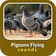 Pigeons Flying Sounds
