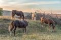 Four horses grazing at sunset near Lydenburg - PhotoDune Item for Sale