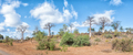 Panorama of a hill with several baobab trees, Adansonia digidata - PhotoDune Item for Sale