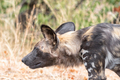 Close-up of stalking wild dog, called painted dog - PhotoDune Item for Sale