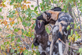 Wild dogs, Lycaon Pictus, also called painted dogs, playing - PhotoDune Item for Sale