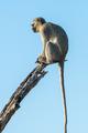 Vervet monkey on a dead tree branch - PhotoDune Item for Sale