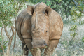 Close-up of a white rhino chewing grass - PhotoDune Item for Sale