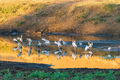 Yellow-billed storks, Mycteria ibis, at sunset - PhotoDune Item for Sale