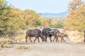 Cape buffalo cows and calf crossing gravel road - PhotoDune Item for Sale