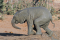 Muddy african elephant calf climbing out of a dam - PhotoDune Item for Sale