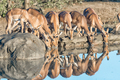 Impala ewes and young rams drinking water - PhotoDune Item for Sale