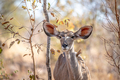 Close up of a young female Kudu. - PhotoDune Item for Sale