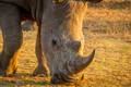 Close up of a White rhino grazing. - PhotoDune Item for Sale