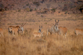 Herd of Eland standing in the grass. - PhotoDune Item for Sale