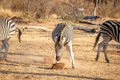Zebra eating a mineral block in the grass. - PhotoDune Item for Sale