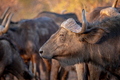 Side profile of an African buffalo. - PhotoDune Item for Sale