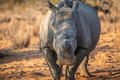 Dehorned White rhino starring at the camera. - PhotoDune Item for Sale