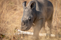 Baby White rhino calf in the high grass. - PhotoDune Item for Sale