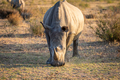 White rhino standing in the grass and grazing. - PhotoDune Item for Sale