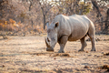 White rhino standing in the grass. - PhotoDune Item for Sale