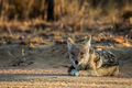 Black-backed jackal laying in the sand. - PhotoDune Item for Sale