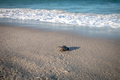Green sea turtle hatchling on the beach. - PhotoDune Item for Sale
