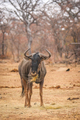 Blue wildebeest standing in the grass and eating. - PhotoDune Item for Sale