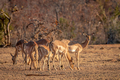 Herd of Impalas standing in the grass. - PhotoDune Item for Sale