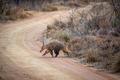 Aardvark crossing a bush road. - PhotoDune Item for Sale