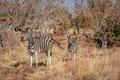 Mother Zebra with a baby Zebra. - PhotoDune Item for Sale