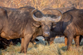 African buffalo starring at the camera. - PhotoDune Item for Sale
